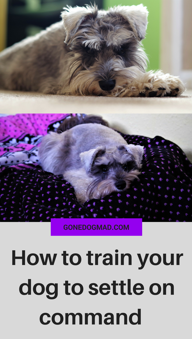 Teach your pup to settle on command with these simple steps. #dogtraining #obediencetraining #dogtips via @gonedogmad1