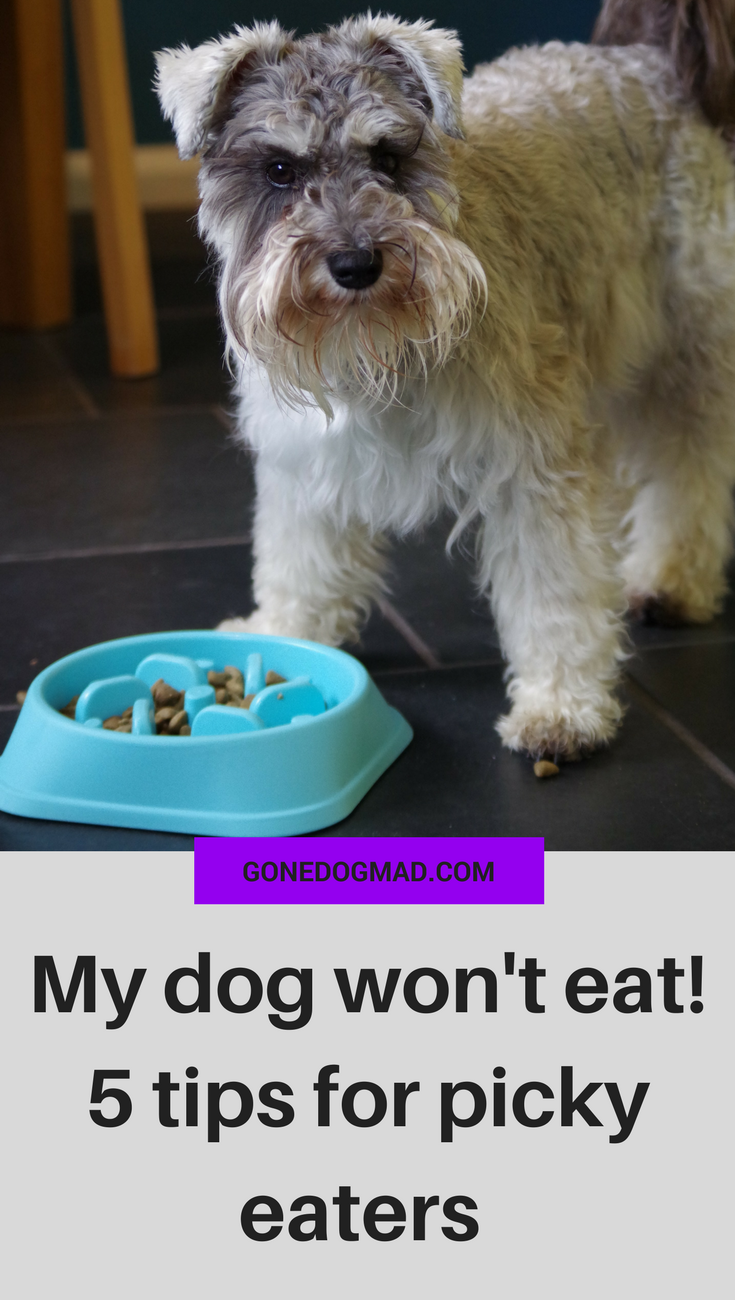 Does your dog refuse to eat their food but is more than happy to eat treats and human food? Your picky eater may think they rule the roost, but times like these call for a little tough love. Picky eating can prevent your dog from getting all the good nutrients they need to stay healthy. Follow these 5 tips to get your dog eating their regular meals like clockwork. #dogtips #doghealth #doglovers #dogfood #dogbehaviour #doghabits #dogmom #dogownertips #dogowneradvice via @gonedogmad1